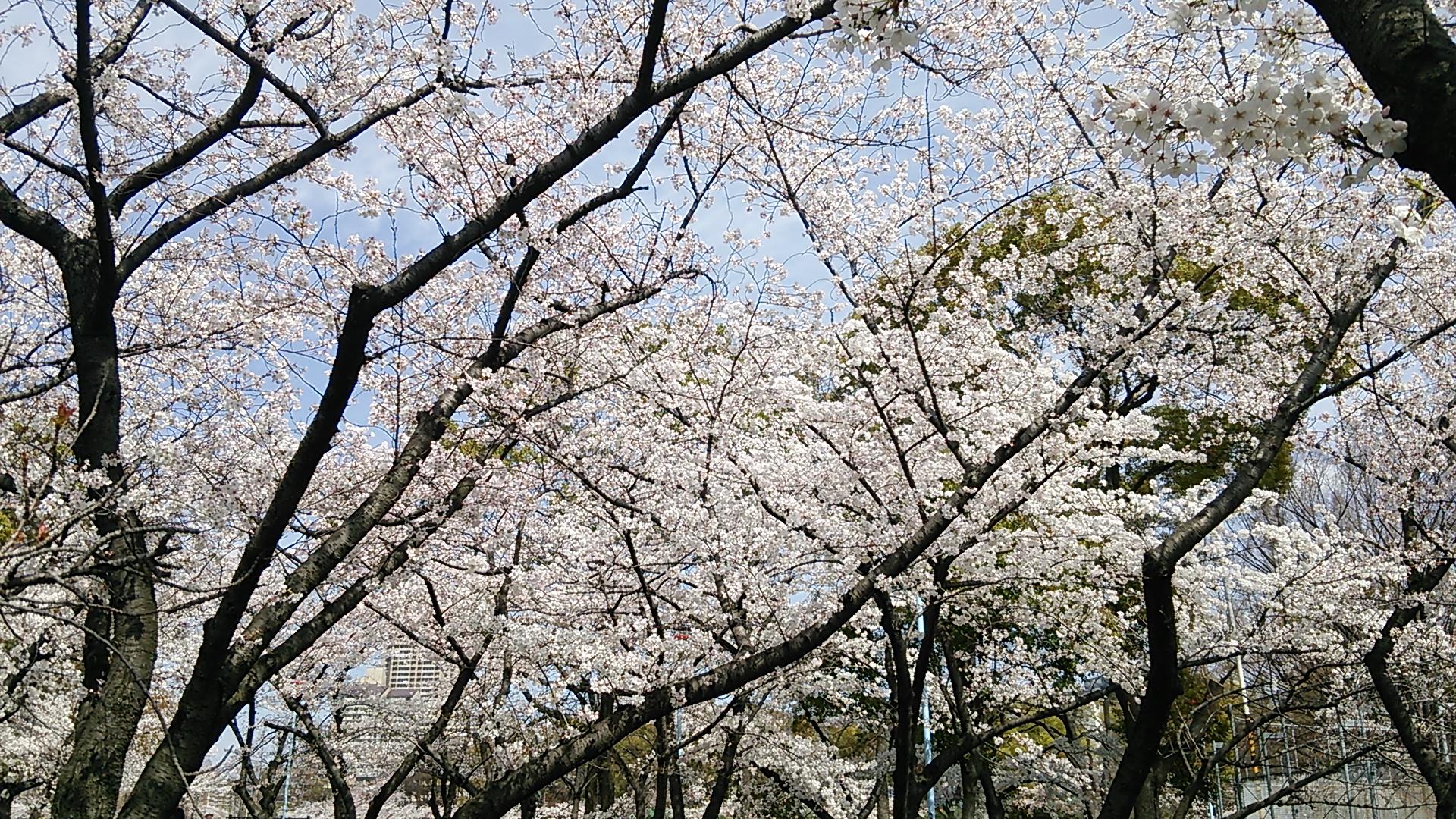 桜ノ宮でお花見