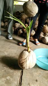 芽が生えた椰子の実