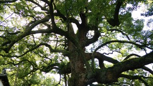 青蓮院門跡の大木