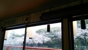 屋形船からの桜